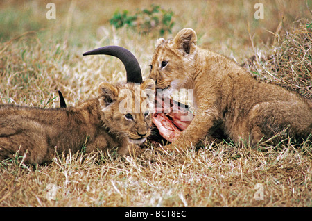 Two young Lion cubs feeding on remains of a Topi carcass Masai Mara National Reserve Kenya East Africa - Stock Photo
