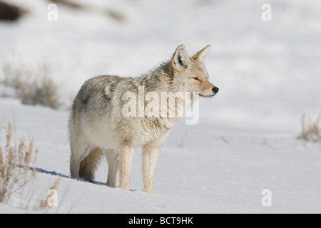 Coyote Canis latrans adult in snow Yellowstone National Park Wyoming USA - Stock Photo