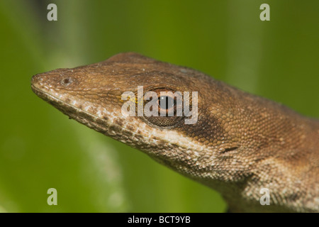 Green Anole Anolis carolinensis head Sinton Corpus Christi Coastal Bend Texas USA - Stock Photo