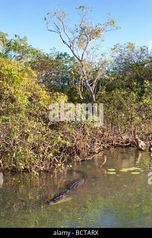 A large Saltwater (Estuarine) Crocodile (Crocodylus porosus) at Yellow Water Billabong in Kakadu National Park. - Stock Photo