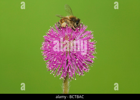 Honey Bee Apis mellifera adult feeding on Sensitive Briar Mimosa nuttallii Sinton Corpus Christi Coastal Bend Texas - Stock Photo
