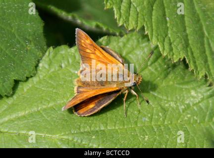 Large Skipper Butterfly, Ochlodes sylvanus (Female), Hesperiidae - Stock Photo