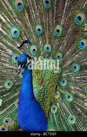 Indian Peafowl (pavo cristatus), Peacock - Stock Photo