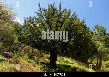 Ancient yew tree Taxus baccata Sierra de Segura Albacete Spain - Stock Photo