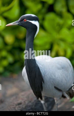 Demoiselle Crane or Lovely Lady crane Grand Hyatt Kauai Hawaii - Stock Photo