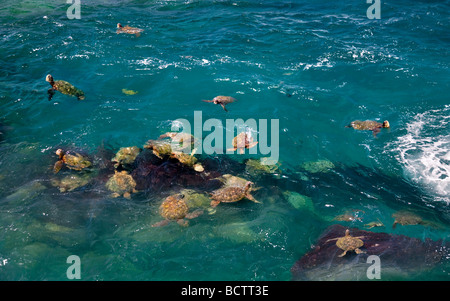 Green Sea Turtles Chelonia mydas Kauai coast Hawaii - Stock Photo