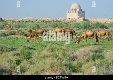 Camels and Mausoleum of Sultan Ahmad Sanjar in the Ruins of Merv in Turkmenistan - Stock Photo