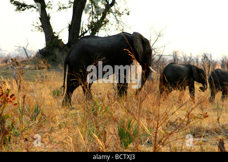 African elephants (Loxodonta africana) walking in forest with lions (Panthera leo) in background Hwange National - Stock Photo