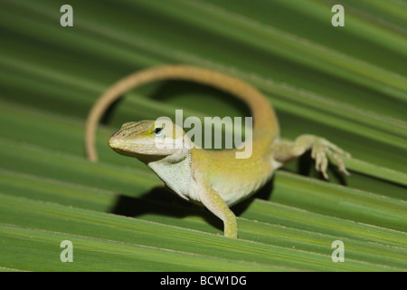 Green Anole Anolis carolinensis adult on palm frond Sinton Corpus Christi Coastal Bend Texas USA - Stock Photo