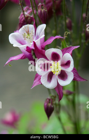 Aquilegia Columbine - Stock Photo