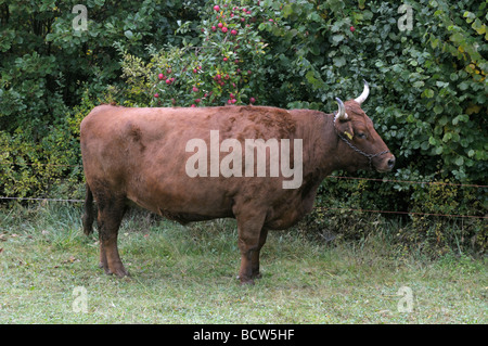 Domestic Cattle (Bos primigenius, Bos taurus), breed: Vogtlaender Red Cattle. Cow on a pasture - Stock Photo