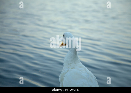 Single white duck on the shore of a lake - Stock Photo