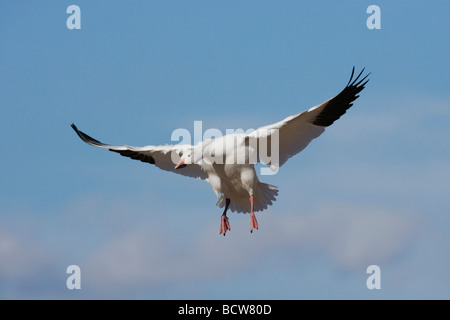 Snow Goose Chen caerulescens adult landing Bosque del Apache National Wildlife Refuge New Mexico USA  - Stock Photo