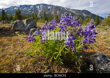 Blooming Large-Leaved Lupin (Lupinis polyphyllus), at historic Lindeman City, mountain behind, Chilkoot Pass, Chilkoot - Stock Photo