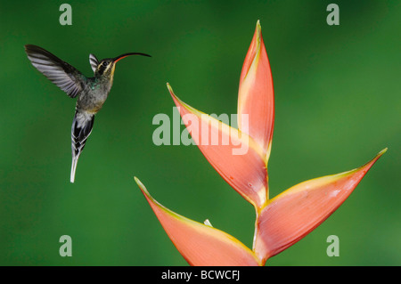 Green Hermit Phaethornis guy female in flight on Heliconia flower Central Valley Costa Rica Central America December - Stock Photo