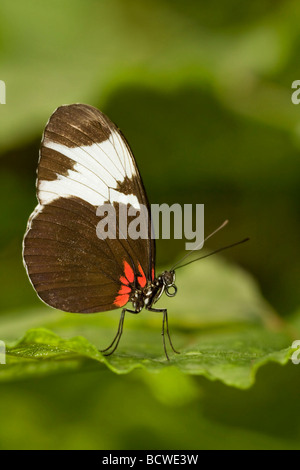 Close-up of a Sapho Longwing (Heliconius sapho) butterfly - Stock Photo