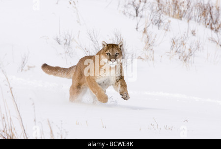Mountain lion (Puma concolor) running in a snow covered field - Stock Photo