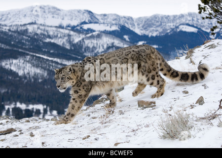 Snow leopard (Panthera uncia) walking in snow - Stock Photo