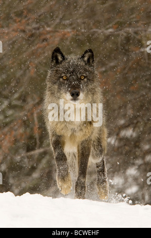 Gray wolf (Canis lupus) running in a snow covered field - Stock Photo