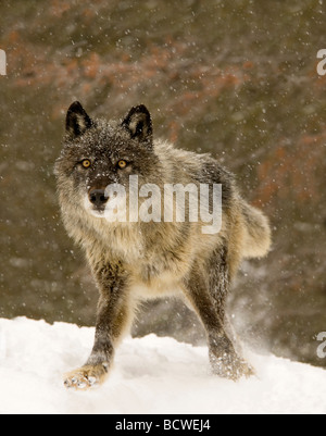 Gray wolf (Canis lupus) standing in snow - Stock Photo