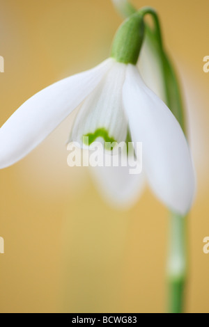 delicate and beautiful January flower epitomising early Spring fine art photography Jane Ann Butler Photography - Stock Photo