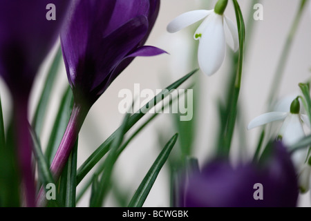 collection of snowdrops and crocuses traditionally the first spring flowering bulbs fine art Jane Ann Butler Photography - Stock Photo