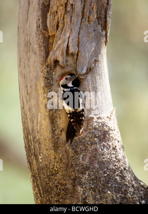 Middle Spotted Woodpecker Dendrocopos medius at nest hole Turkey - Stock Photo