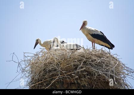 Polish Stork family in nest on top of pole. Selcuk Turkey - Stock Photo