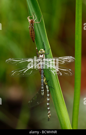Southern Hawker or Blue Darner (Aeshna cyanea), freshly eclosed with larval skin - Stock Photo