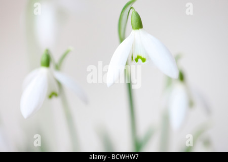 minimal and contemporary image of the classic snowdrop galanthus fine art photography Jane Ann Butler Photography - Stock Photo