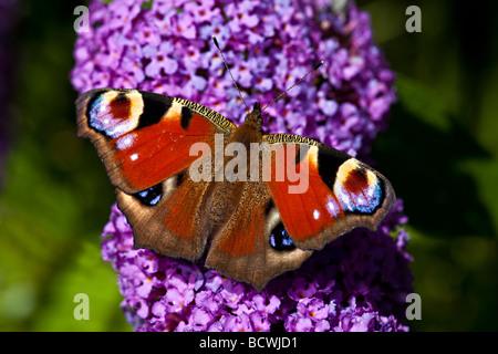 PEACOCK BUTTERFLY (Inachis io) on BUDDLEIA (Buddleia davidii) - Stock Photo