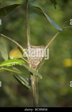 Seychelles Paradise Flycatcher Terpsiphone corvina nest in branch fork at Veuve Reserve, La Digue, Seychelles in - Stock Photo