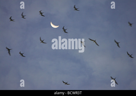 Sooty Tern Sterna fuscata flock circling the skies before roosting on Bird Island, Seychelles in April. - Stock Photo