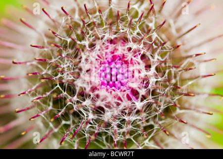 Budding Burdock Flower - Stock Photo