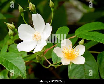 Closeup of Rosa canina Dog Rose flowers - Stock Photo