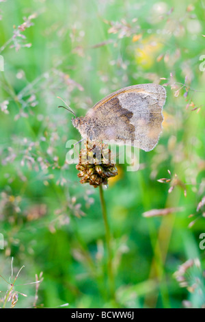 Meadow Brown butterfly in grasses - Stock Photo