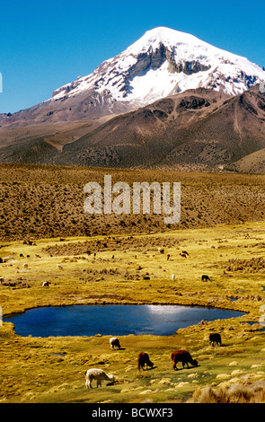 Llama and alpaca grazing with the Sajama volcano in the background. Sajama National Park, Bolivia, South America - Stock Photo