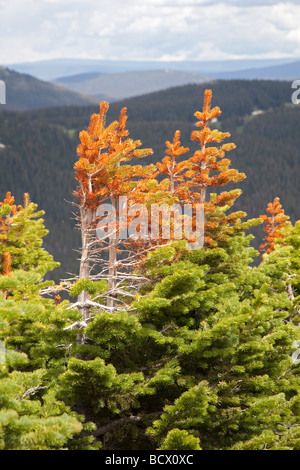 Rocky Mountain National Park Colorado Stunted red and green pine trees at tree line on Trail Ridge - Stock Photo