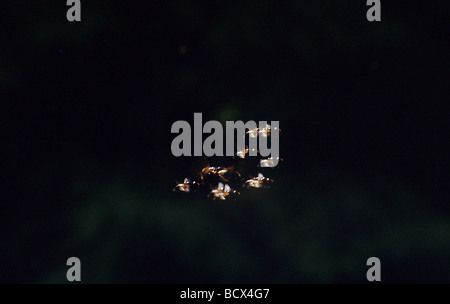 lampyridae / glowworm / fireflies / lightning bugs - Stock Photo
