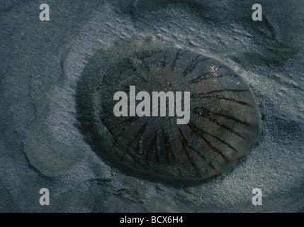 chrysaora hysoscella / compass jellyfish
