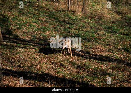 italy, abruzzo, abruzzo national park, apennine wolf - Stock Photo