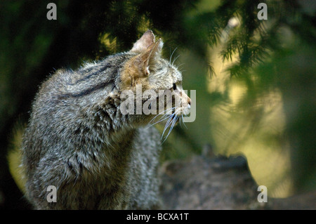 gatto selvatico wild cat Felis silvestris felini bosco Bayerische Wald Germany - Stock Photo