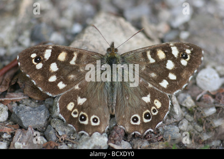 The Speckled Wood.  The Speckled Wood (Pararge aegeria) is a butterfly found in and on the borders of woodland. - Stock Photo