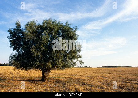single, green tree on green field with blue sky in background - Stock Photo