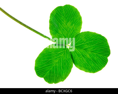 clover isolated on a white background - Stock Photo