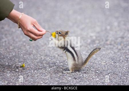 Golden Mantled Ground Squirrel Hand feeding Spermophilus saturatus Rocky Mountains Alberta Canada MA001922 - Stock Photo