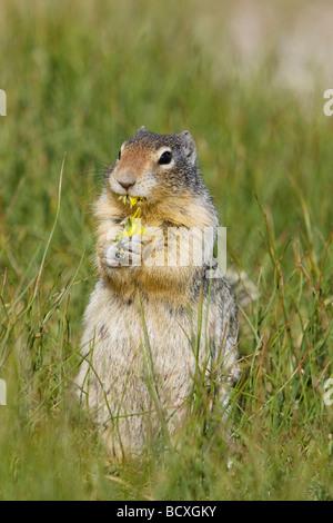 Columbian Ground Squirrel Eating Dandelion flower Spermophilus columbianus Rocky Mountains Alberta Canada MA001982 - Stock Photo