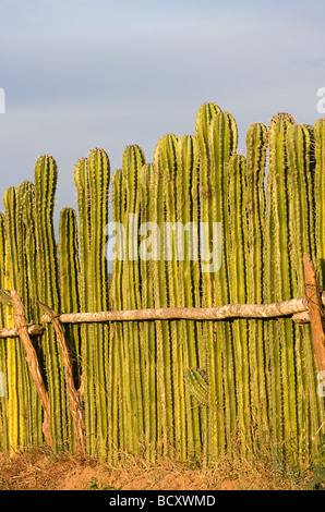 Fence made of living cactus plants near Mazatlan, Mexico - Stock Photo
