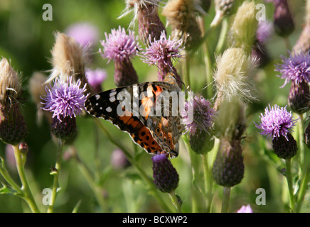 Painted Lady Butterfly, Vanessa cardui, Nymphalidae, Lepidoptera. Feeding on Sawwort, Serratula tinctoria, Asteraceae - Stock Photo