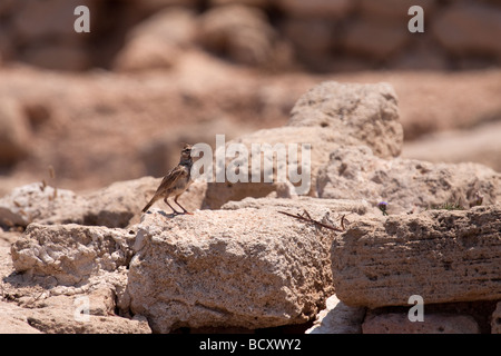Crested Lark (galerida cristata) among the ancient ruins at Paphos Cyprus - Stock Photo